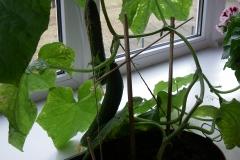 Puhhid kasvatavad kurke